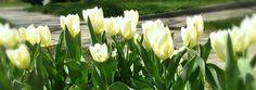 Tulips 2014 Spring Bulbs, Tulips, Vegetables, Garden, Plants, Garten, Lawn And Garden, Vegetable Recipes, Gardens
