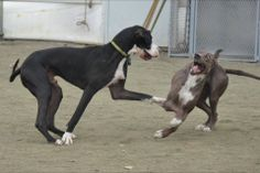 Shenanigans on one of our Service Dog Project Live Cams. Watch more Great Dane puppy play on explore.org