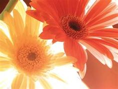 Gerber Daises my favorite flower aside from sunflowers :)