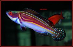 Laboutei Flasher Wrasse