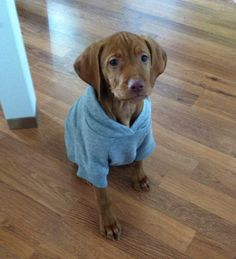 Cedar the Vizsla wearing her new hoodie!