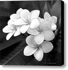 Plumeria - Black And White Stretched Canvas Print / Canvas Art By Kerri Ligatich