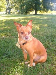 Pablo is an adoptable Chihuahua Dog in Cincinnati, OH.    Interested in Adopting? Click here to download an application..... Please submit all applications via email to  dogadoption@live.com For questi...