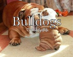 Oh my goodness chubby little wrinkly adorable puppy!!!!