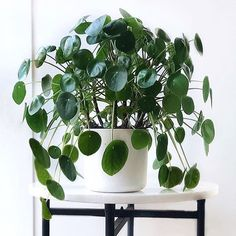 I love the structure of this pileaRepost @plantcircle . Follow @the.jungle.life for daily plant dosages . . . #pilea…