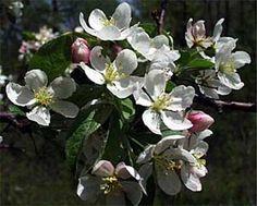 Apple Malus pumila