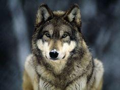 Noble. Beautiful Creatures, Animals Beautiful, Cute Animals, Wild Animals, Animals Dog, Wolf Spirit, Spirit Animal, Origin Of Dogs, Tier Wolf