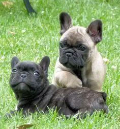 Brindle & Fawn French Bulldog Puppies.