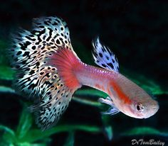 Pink Variegated Male Guppy for sale