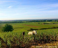 Winegrower in Pommard - Burgundy