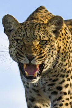 Leopard Warning! by Grant Atkinson http://500px.com/photo/6151060