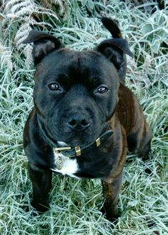 what a sweet face Staffy Bull Terrier, Staffordshire Bull Terrier Puppies, Staffy Dog, Terrier Breeds, Cute Puppies, Cute Dogs, Dogs And Puppies, Doggies, Animals And Pets