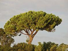 Italian Stone Pine Tree Care – Tips For Growing Italian Stone Pine Trees