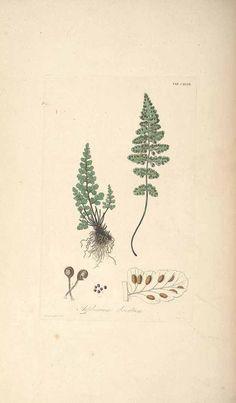 47239 Asplenium virillae Christ [as Asplenium obovatum H. Christ] / Hooker, W.J., Greville, R.K., Icones filicum, vol. 2: t. 147 (1831) [R.K. Greville]