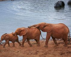 A delightful elephant family minding its own business  Picture by Pan Se Wei of China Xinhua News taken in Kenya..