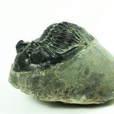 Fossil Trilobite Hollardops merocristata Devonian (EA2335) Morocco Genuine Collectible Ancient Marine Dinosaur phacops trilobite