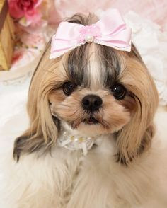 @jewel_dogs さんの新しいリボンおっきくて可愛い    #jeweldogs #りぼん #ビッグりぼん #犬アクセサリー #dogfashion #shihtzu #shitzugram #shitzulover #시추#シーズー #ちょんまげシーズー #トップノット #シーズー大好き部  #dog #doggy #dogsofinstagram #pet #petsagram #animal  #igdogs #ilovemydog #わんこ #ふわもこ部 #todayswanko #Great_Captures_Dogs #east_dog_japan#cuteshihtzu#bestfriends_dogs #LOVES_DOGS by cawaii_azuki