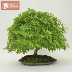 Acer P Kashima a la venta en #BonsaiColmenar puedes verlo en: https://www.bonsaicolmenar.com/novedades/arce-acer-palmatum-kashima-2/