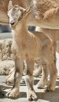 Markhors are endangered goat-antelopes indigenous to Central Asia.