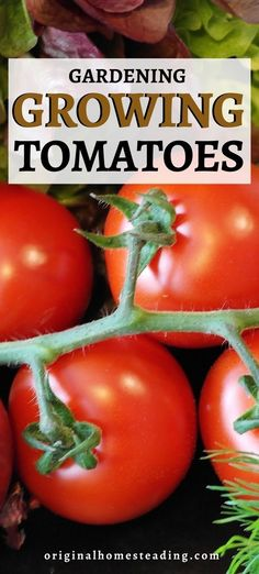 Learn to grow beautiful red, orange, yellow, burgundy and chocolate tomatoes. All types of tomatoes are a delicious staple in most gardens and greenhouses. Get started with tomatoes this season for your very own homegrown crop! Types Of Tomatoes, Growing Tomatoes, Growing Vegetables, Tomato Seedlings, Tomato Seeds, Container Gardening, Gardening Tips, Determinate Tomatoes, Fresh Tomato Recipes