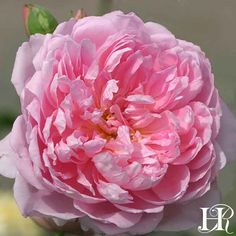 """The Ingenious Mr. Fairchild Large, peony like roses of deep pink touched lilac with a paler lilac on the outside of the fringe-like petals. Growth is spreading and arching into a well-rounded, mounding continual blooming bush. A strong fruit-fragrance with tones of raspberry, peach and a hint of mint. 3 1/2"""" bloom with 41 petals."""