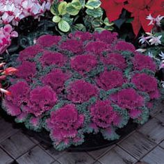 Photo of Flowering Kale Nagoya Red Flowering/Ornamental Kale drought tolerant Flowering Kale, Ornamental Cabbage, Fall Containers, Fall Planters, Small Backyard Landscaping, Winter Flowers, Colorful Garden, Autumn Garden, Amazing Flowers