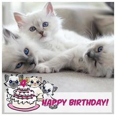 Today its a special day its Mazzy and her siblings birthday! Theyll be 4 years and we wish them all a Happy Birthday!  #minivaniljer #minivaniljerna2013 #muffins #maräng #mazarin #birma #birman #breeder #catsofinstagram #chokladochvanilj #kitten #pinkalicious #topcatphoto #happycatclub #welovecats #we_love_cats #excellent_cats #bestcats_oftheworld #birman_feature #birman_cats_lovers #birmancat #birmancats #birmavanner #bestmeow #birthdaycat