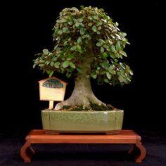 Shohin - really small tree fascination - Bonsai Tree (Pty) Ltd.