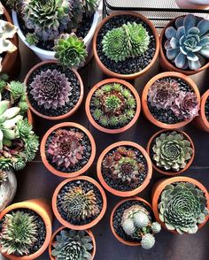 Semps for you, semps for me, semps for everybody! Actually, take that back, they are all for meeeeee  #sexysempsforever #sempervivum #cactus #cactuslove #succulent #succulove #desert #plant #nature #leaveonlyleaves #leafandclay #jungalowstyle #succulents #flower #flowerlove #garden #plants #instagood #photoftheday #picoftheday #instalike  #beautiful #green #cactusrepost #bestoftheday #cactusmovement #cactusclub #cacti #suckerforsucculents #love