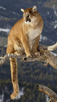 Felidae, Lion, Big Cat, Wildlife HD Wallpaper for Android Phone, Animals Background Big Cats, Cool Cats, Cats And Kittens, Nature Animals, Animals And Pets, Cute Animals, Animals Photos, Wild Animals, Beautiful Cats