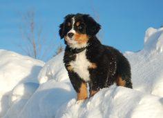 Bernese Mountain Dog Breed Profile | Dog Magazine