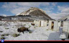 L'epica liberazione dei bisonti canadesi Potrebbe sembrare assurdo affermare che un parco nazionale come quello di Banff nell'Alberta, in grado di superare i 6400 Km d'estensione, possa dirsi privo di un qualcosa di fondamentale per la sua  #animali #bisonti #bovini #america