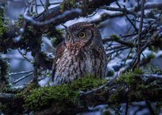 cold snowy evening in southwest Portland Oregon Western Screech Owl, Tawny Owl, Birds Of Prey, Little Birds, Dark Wood, Wander, Westerns, Art Projects, Cold