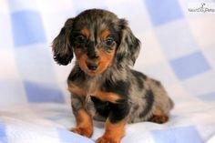 Miniature Dachshund Puppy .
