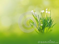 White snowdrop or galanthus flowers on the spring blurred garden background
