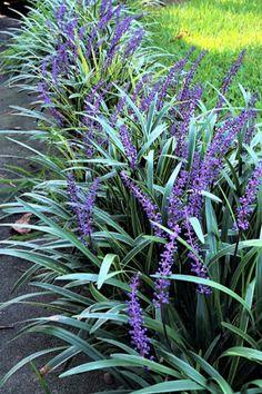 Shrubs For Borders, Landscape Borders, Landscape Design, Border Shrubs, Tree Borders, Boarder Plants, Garden Border Plants, Perennial Border Plants, Lily Turf