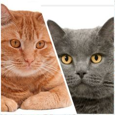Ginger Cat and Chartreux Cat