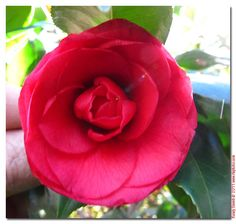 pictures of camellias in the yard - Google Search