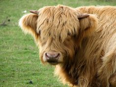 'Highland Cow' by Melissa Gray Scottish Highland Cow, Highland Cattle, Scottish Highlands, Watch Dance Moms, Fluffy Cows, Water Buffalo, Highlanders, Prince Harry, Families