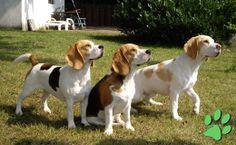 Beagles | Unsere drei Beagles im Alter von zwei bis drei Jahren: links die ...