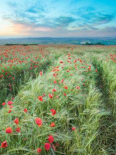 wanderthewood:  Poppies in Devon, England by the milster