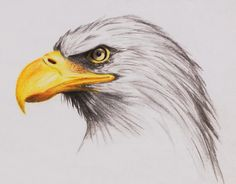 Detailed Egale Drawings - Yahoo Image Search results