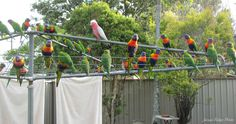 Rainbow Lorikeets and a galah on our clothes line