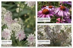 """Gemeinsam mit dem Magazin """"Lust auf Natur"""" haben wir dieses Beet entwickelt: Terrassenflächen schön zu umpflanzen ist manchmal gar nicht so… Clematis, Wisteria Sinensis, Rosen Beet, Astrantia Major, Foeniculum Vulgare, Plants, Patio, Astrantia, Evening Primrose"""