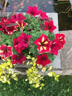 his week's Friday Featured Post comes from Donna Stromberg.  Donna's petunia planter is vibrant and attention-getting...the perfect reminder to use these grey winter days to plan spring plantings!