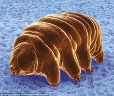 Tardigrades, also known as water bears, are some of the most fascinating animals in world