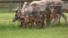 Suckling Baby Reindeer