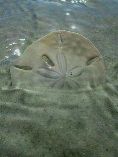 sand dollar or sea cookie Anna Maria Island Beach Life Venice Florida, Hawke Dragon Age, Wow Photo, Whatsapp Wallpaper, I Love The Beach, Am Meer, Jolie Photo, Beach Scenes, Ocean Beach