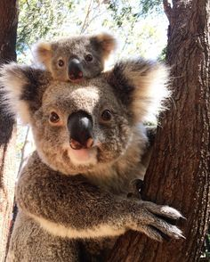 Tarni the Koala and his mum – Cory - Baby Animals Cute Funny Animals, Cute Baby Animals, Animals And Pets, Fluffy Animals, Panda Teddy, Koala Baby, Cute Koala Bear, Baby Otters, Australian Animals