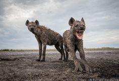 """Oi! What's all this then?"". A couple of curious hyenas observe a 'beetle camera' in Zambia. By Will Burrard-Lucas."